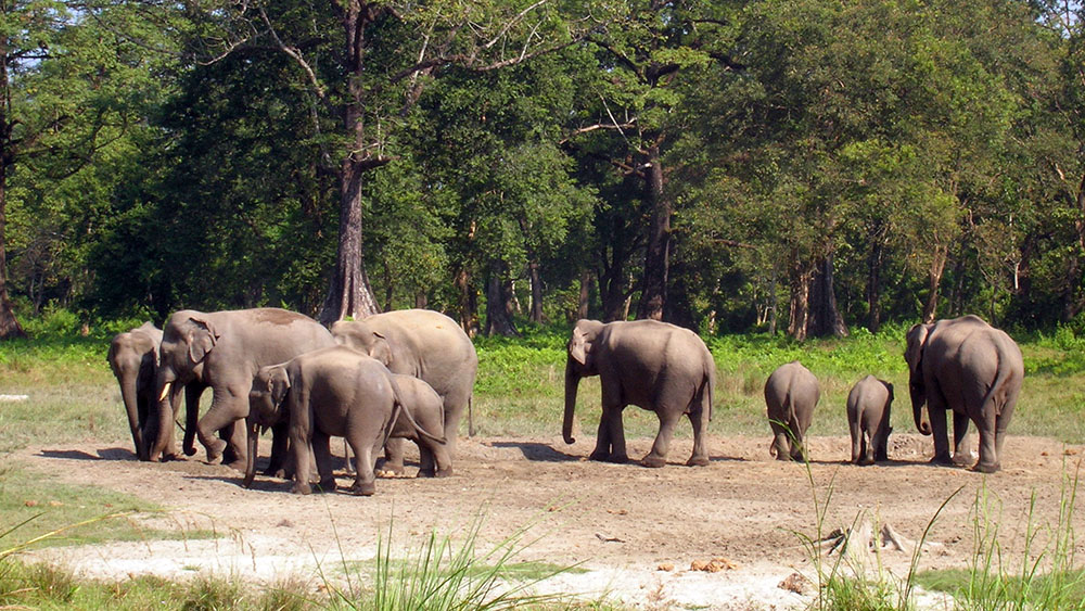 Wild Elephants Jaldapara
